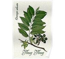 Botanical illustration of Ylang Ylang Poster