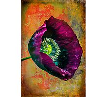 Poppy for your castle Photographic Print