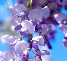 Wisteria by Renee Hubbard Fine Art Photography