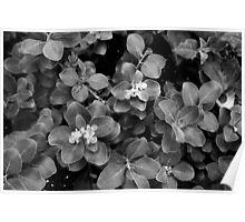 Jeju flowers in black and white Poster