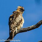 Little Eagle by Rick Playle