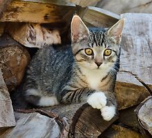 Cutie kitten on a wood pile by Katho Menden