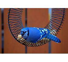 BlueJay @ the Feeder Photographic Print