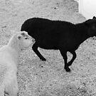 Baa, Baa Black Sheep..... by Chet  King