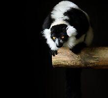 Black-and-White Ruffed Lemur by Richard Hepworth