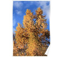 larch in autumn Poster