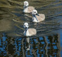 Cygnets on the move by JohnYoung