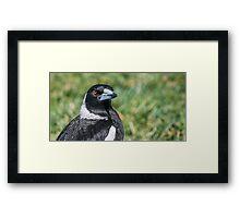 Australian Magpie (Cracticus Tibicen) Framed Print