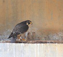 Peregrine Falcon Falco Peregrinus with chicks by Donovan wilson