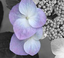 Hydrangea by KaleidoscopeQN