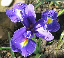 Beautiful Iris by Kathryn Jones