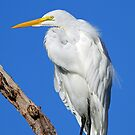 Great White Egret by jozi1