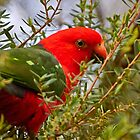 King Parrot by Robert Elliott