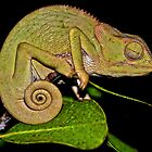 Changing Colour - Chameleon (Chamaeleonidae) by DebbyTownsend