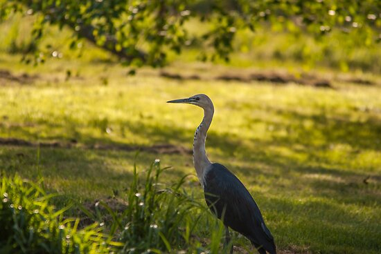 White Necked Heron by Deborah McGrath