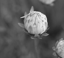 Daisy in Mono by kalaryder