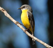 Eastern Yellow Robin by Leslie-Ann