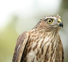 Sharp-shinned Hawk by Jean Martin