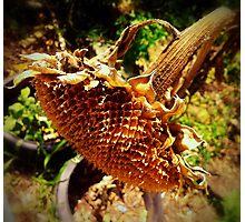 Sunflower Seedless 1 Photographic Print