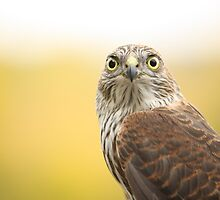 Young Sharp-shinned Hawk by Jean Martin