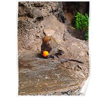 Monkey with orange Poster