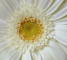 Macro White Gerbera With Yellow Center by edesigns14