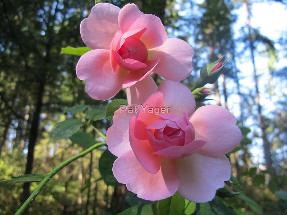 Heirloom Roses by Pat Yager