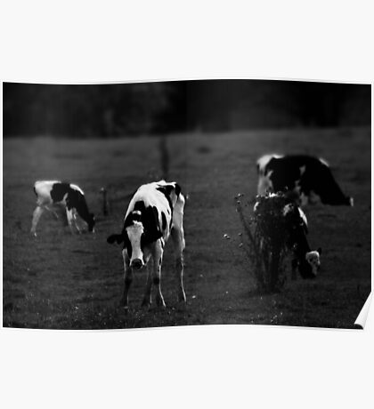 Cows (4) Poster