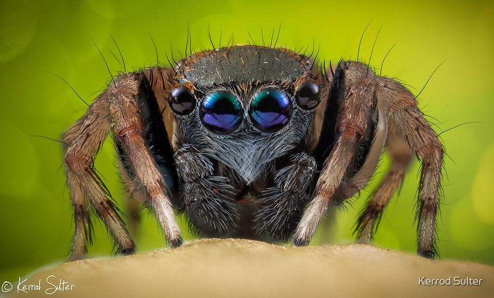 'Jotus sp.' Salticidae  by Kerrod Sulter