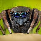 'Jotus sp.' Salticidae  by Kerrod Sulter