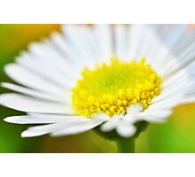 Seaside Daisy Photographic Print