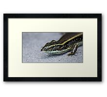 Eastern Water Skink (Eulamprus Quoyii) Framed Print
