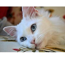 Portrait of A Blue Eyed Van Cat Photographic Print