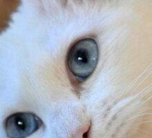 Portrait of A Blue Eyed Van Cat Sticker