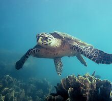 Flying Hawksbill by Robbie Labanowski