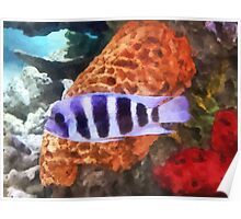 Striped Tropical Fish Frontosa Poster