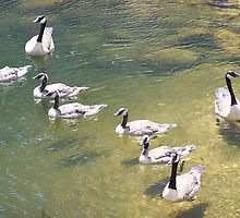 Geese # 3 by LifeCaptures