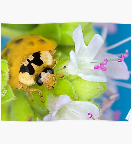 Ladybird - Ladybug - Marienkäfer - Glückskäfer III Poster