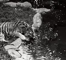 Tiger at the Watering Hole by Emily Rose