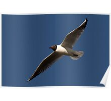 European Black Headed Gull Poster