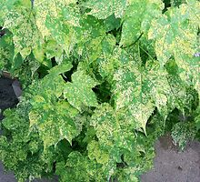 Variegated Maple by thatcactiguy