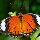 Lacewing Resting by peasticks