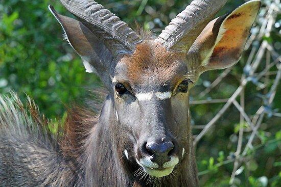 A Male Nyala up close! by jozi1