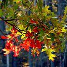Oak Leaves in October by TrendleEllwood