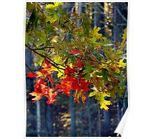 Oak Leaves in October Poster