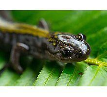 Salamander Up Close Photographic Print
