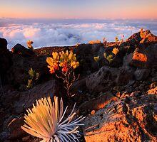 Haleakalā Silversword, Maui by Michael Treloar