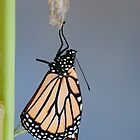 Monarch Butterfly Auckland New Zealand by Sunchia Milic