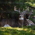 Big Buck And Friends Bedding Down by Thomas Mckibben