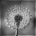 Dandelion by Bryan Freeman